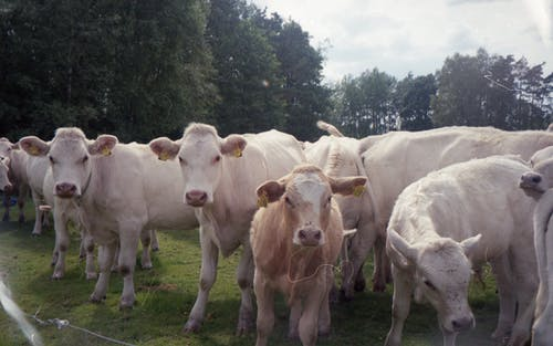 Herd of domestic cows standing on grassy meadow in countryside area with trees