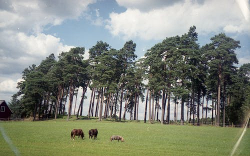 Domestic cows pasturing on field near rural house and tall trees in village