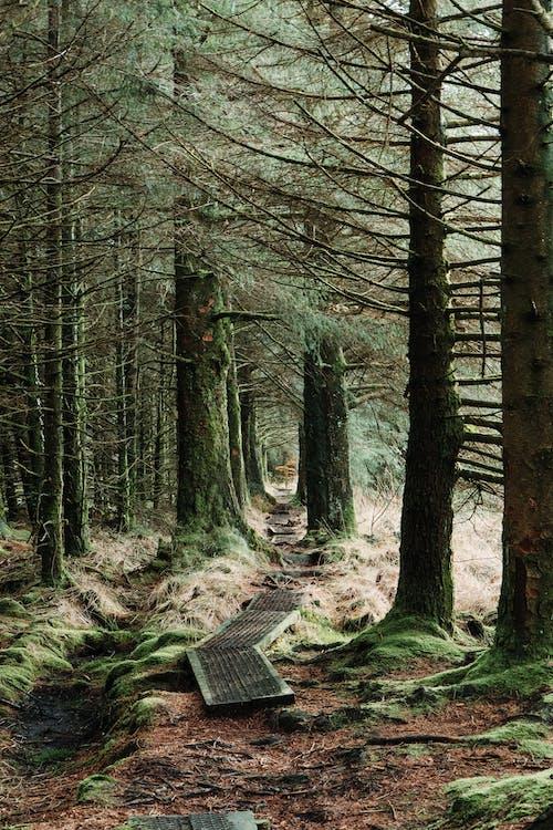 Ingyenes stockfotó erdei ösvény, erdei út, erdő témában