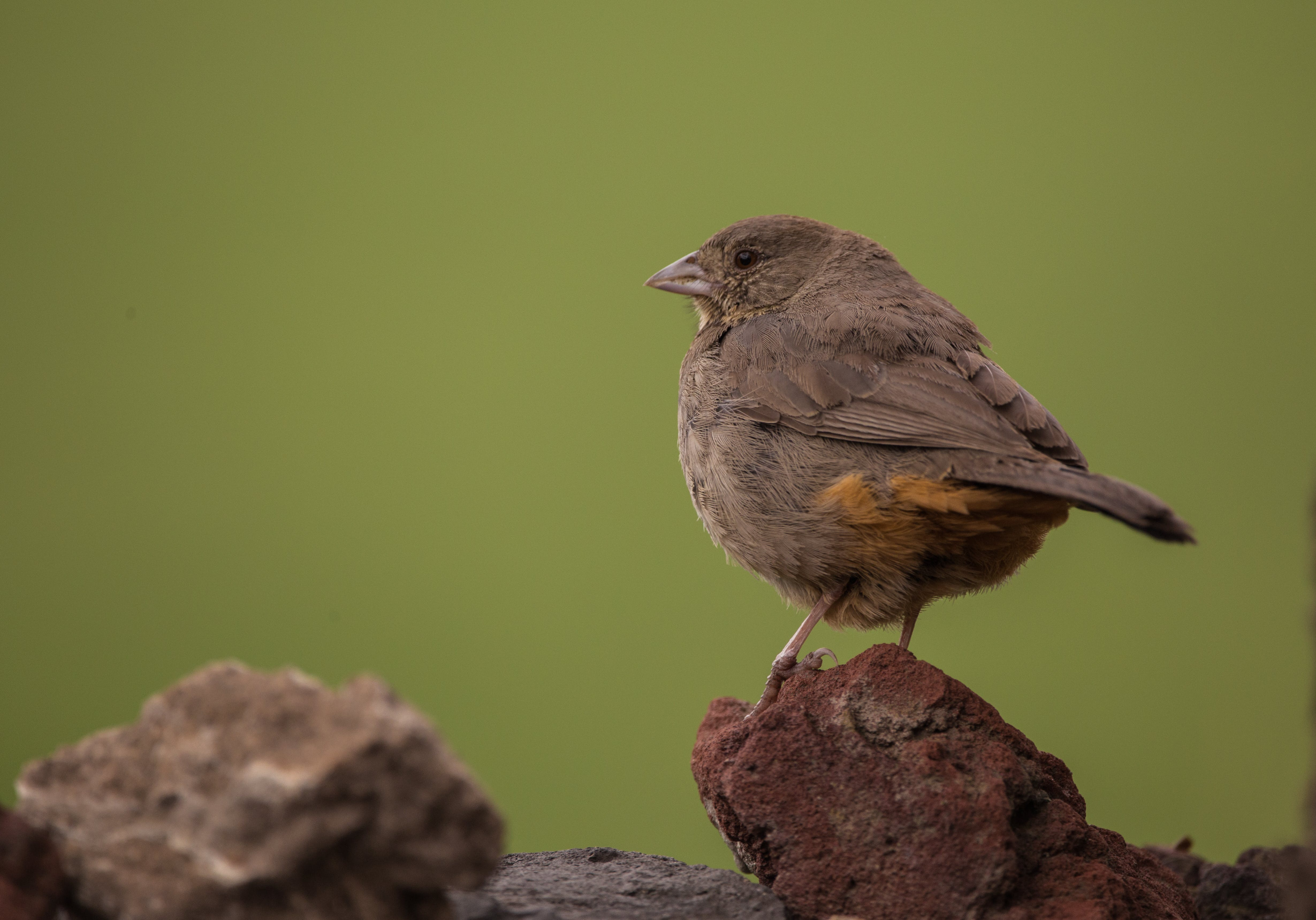 Brown Sparrow on Brown Rock
