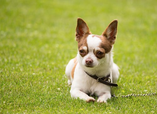 Adorable white and brown chihuahua dog in collar sitting on green grassy lawn on sunny day