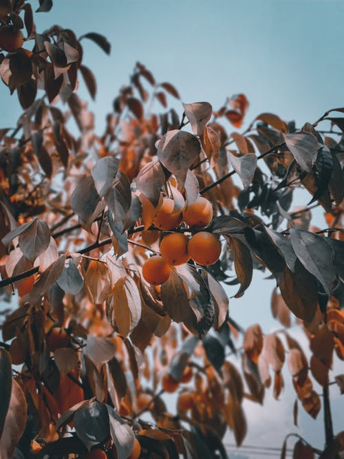 Brown Leaves on Tree