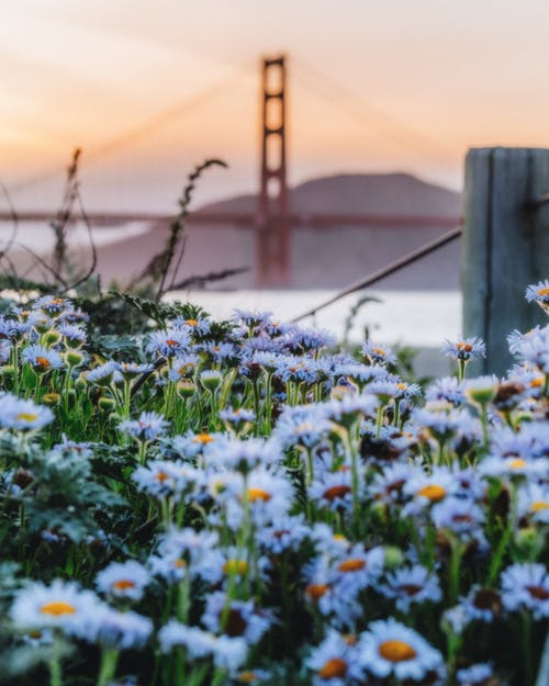 Blooming chamomiles against Golden Gate bridge