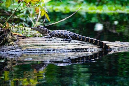 Black and Brown Crocodile on Brown Wooden Log