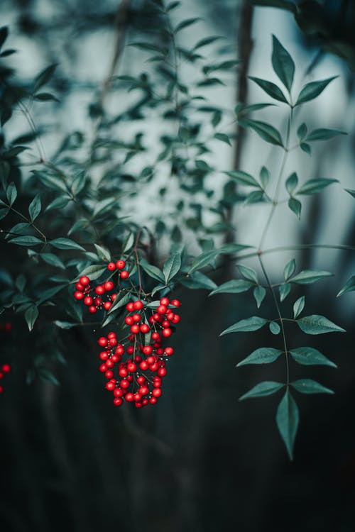 Red berries on thin branch