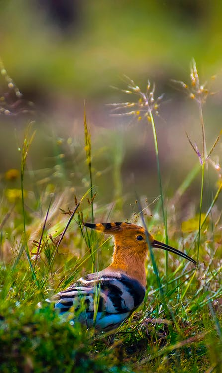 Colorful hoopoe on grassy field