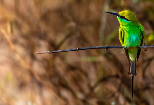 Colorful green bee eater with black beak sitting on leafless thin sprig in forest with dried plants on blurred background