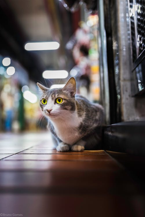 Free stock photo of beautiful, beuld, cat