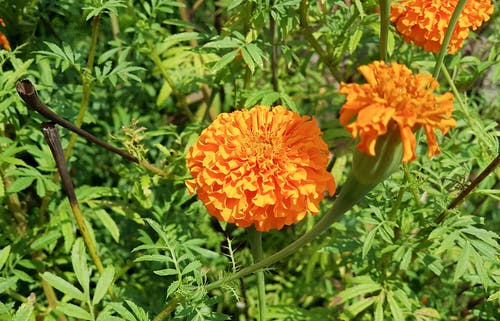 Free stock photo of flower, marigold, orange