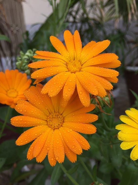appelsin, blomster, blomstermotiv
