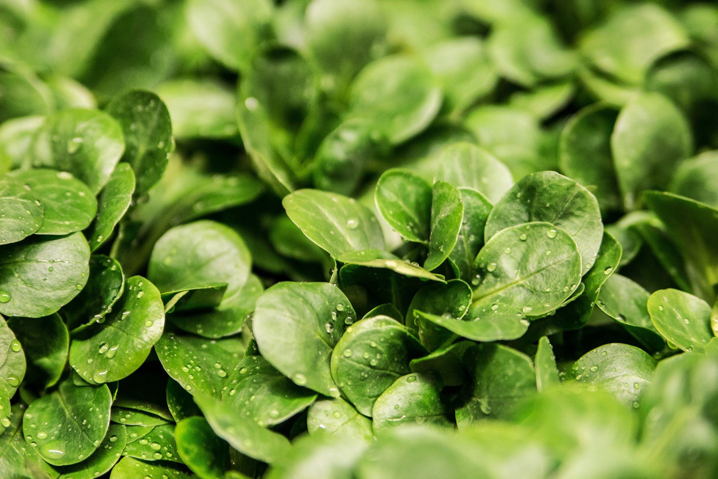 Kostenloses Stock Foto zu tau, pflanzen, nass, grün