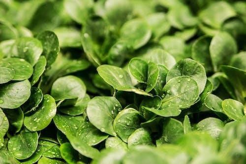 Kostenloses Stock Foto zu blätter, grün, nahansicht, nass