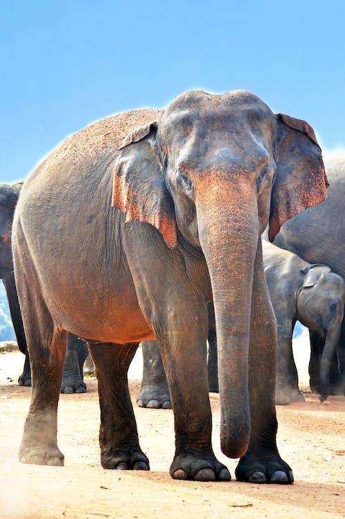 Бесплатное стоковое фото с животные, слоны, снимок крупным планом, фотографии животных