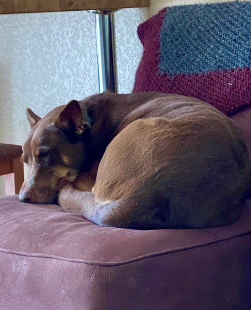 Free stock photo of dog, interior, sleeping