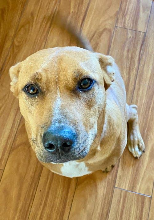 Free stock photo of dog, pitbull