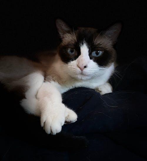 Free stock photo of cat portrait