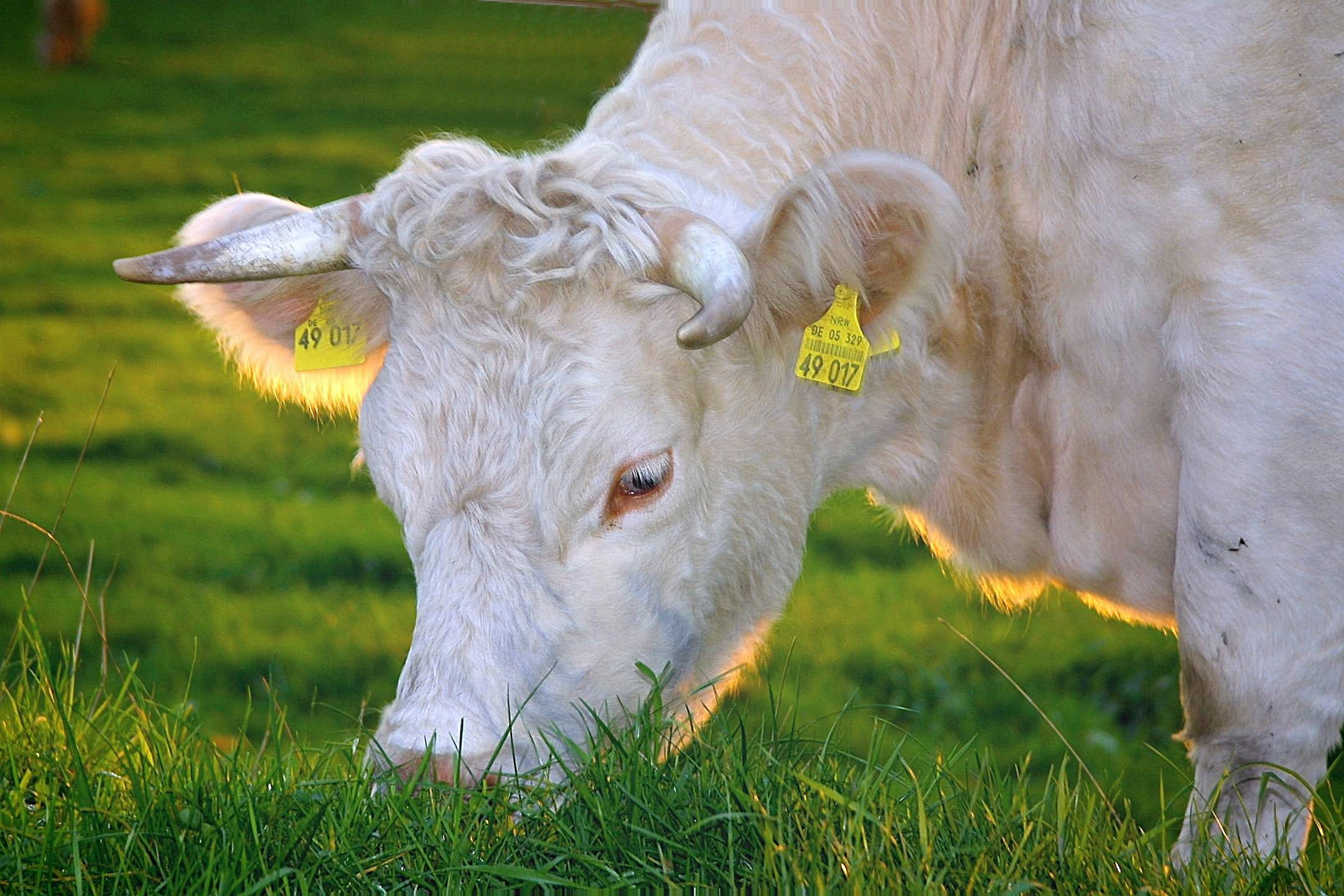 White Cow Eating Green Grass