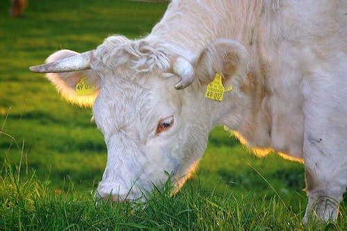 Δωρεάν στοκ φωτογραφιών με αγελάδα, βόδια, γκρο πλαν, γρασίδι