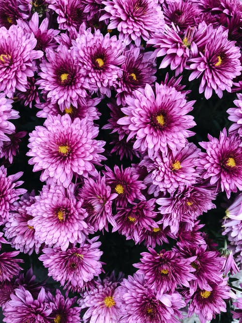From above bouquet of bright Chrysanthemum flowers with delicate purple petals growing in garden in daylight