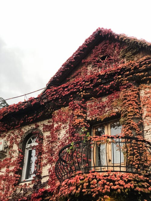 From below of aged brick residential house with forged oval balcony covered with red Japanese ivy leaves against cloudy sky