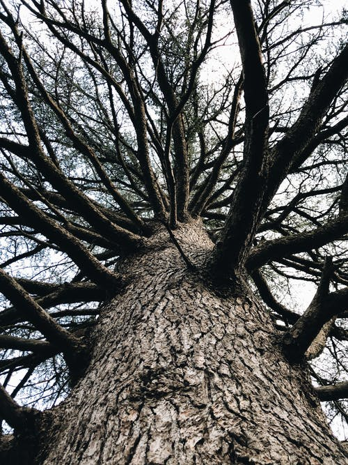 From below of tall tree with curvy leafless branches and dry bark growing in forest against cloudy sky