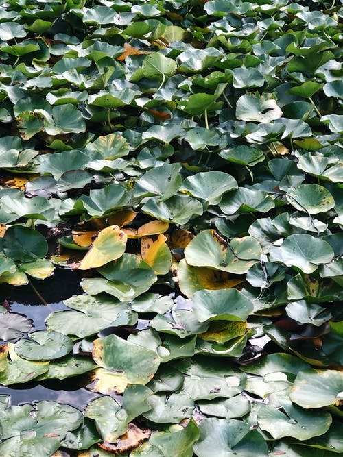 Green leaves of Nymphaea aquatic plant growing in pond
