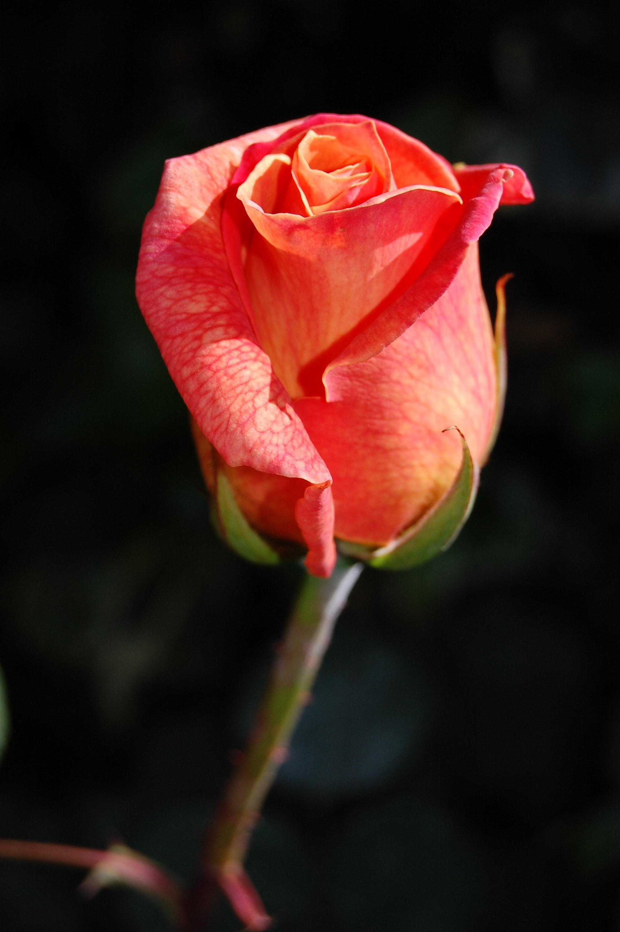 Rose Black Pink Wallpaper