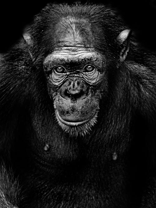 Monochrome Photography of a Chimpanzee