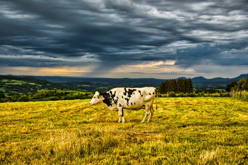 A Cattle on a Grassy Field