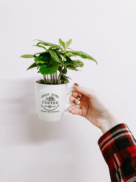 Crop unrecognizable female demonstrating small lush houseplant potted in white mug against white wall