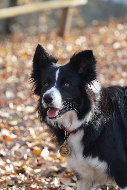 Fotos de stock gratuitas de al aire libre, animal, Border Collie