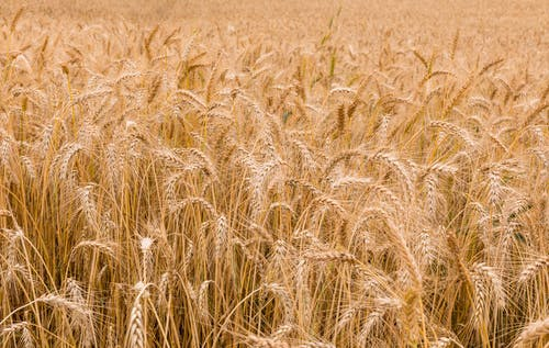 Golden wheat plantation in countryside
