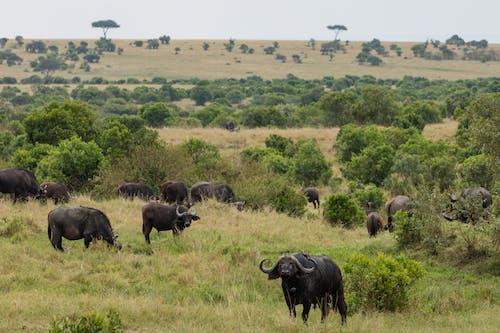 açık hava, afrika bufalosu, ağaç içeren Ücretsiz stok fotoğraf
