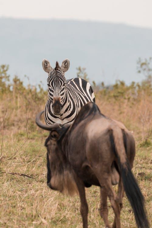 Imagine de stoc gratuită din afară, Africa, albastru de wildebeest