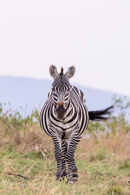 Imagine de stoc gratuită din afară, Africa, animal