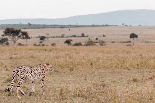 While cheetah walking in savanna during hunting