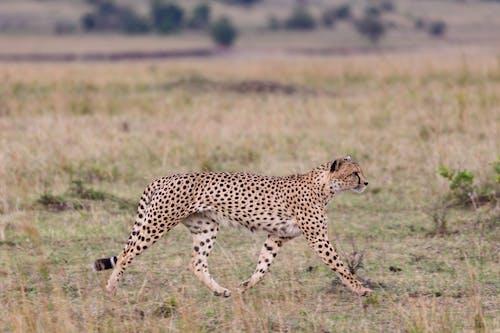 Graceful cheetah walking in savanna in daylight
