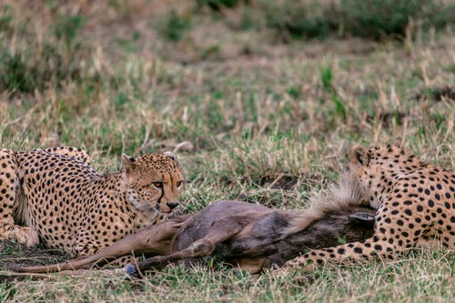Predatory cheetahs with spotted fur relaxing on grass near killed prey in savanna