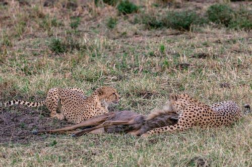 Dangerous cheetahs with prey on grass