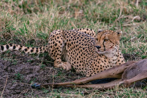 Predatory cheetah with spotted fur relaxing on grass near killed wild animal in savanna
