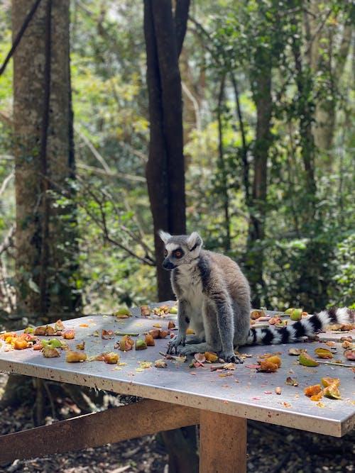 White and Black Lemur on table