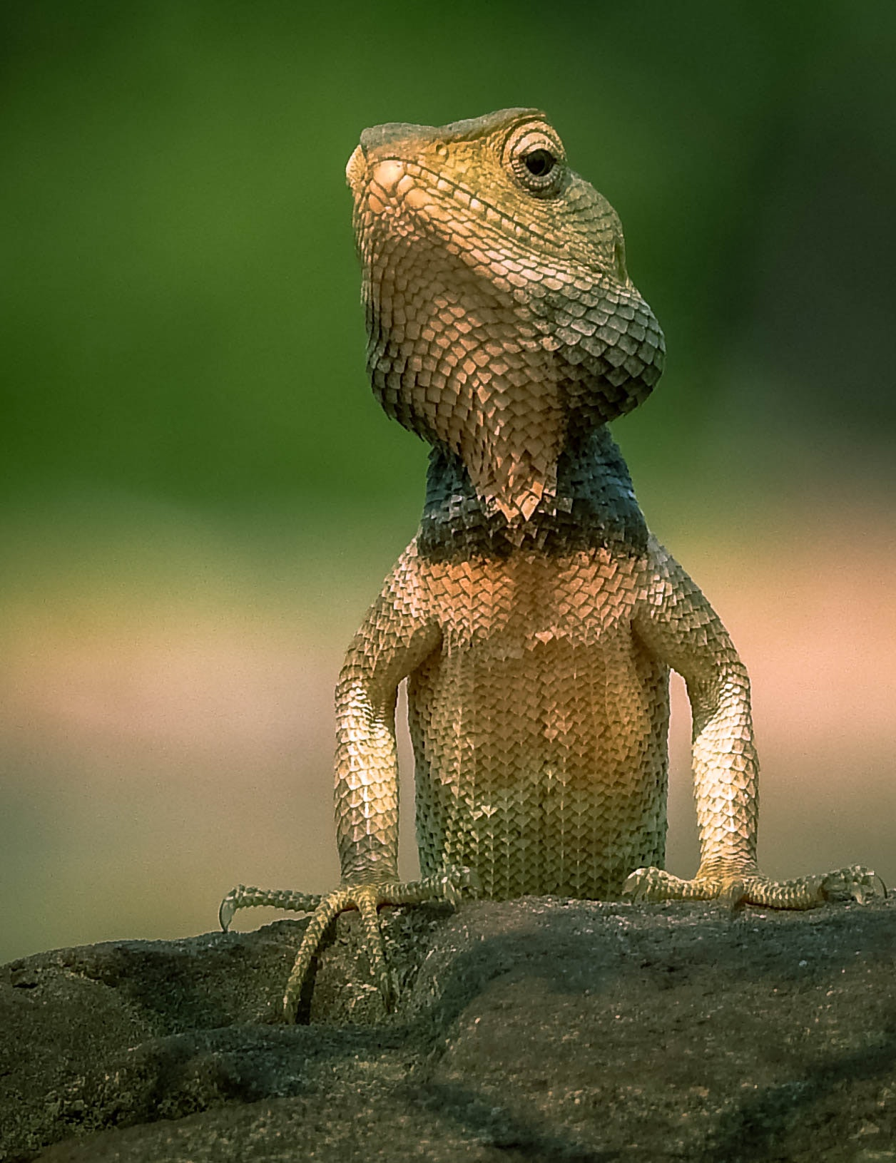 Free stock photo of Garden lizard
