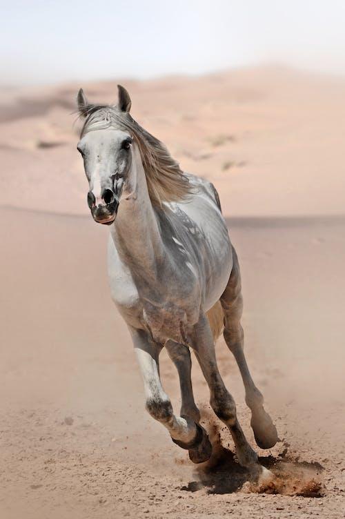 White Horse Walking on Brown Sand