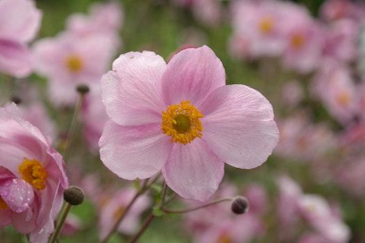 Pink 5 Petaled Flowers