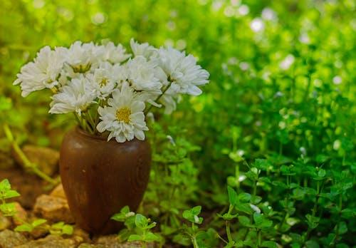 Free stock photo of chrysanthemum, white
