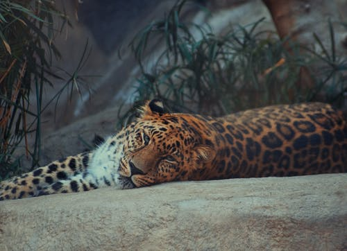 Brown and Black Leopard Lying on Ground