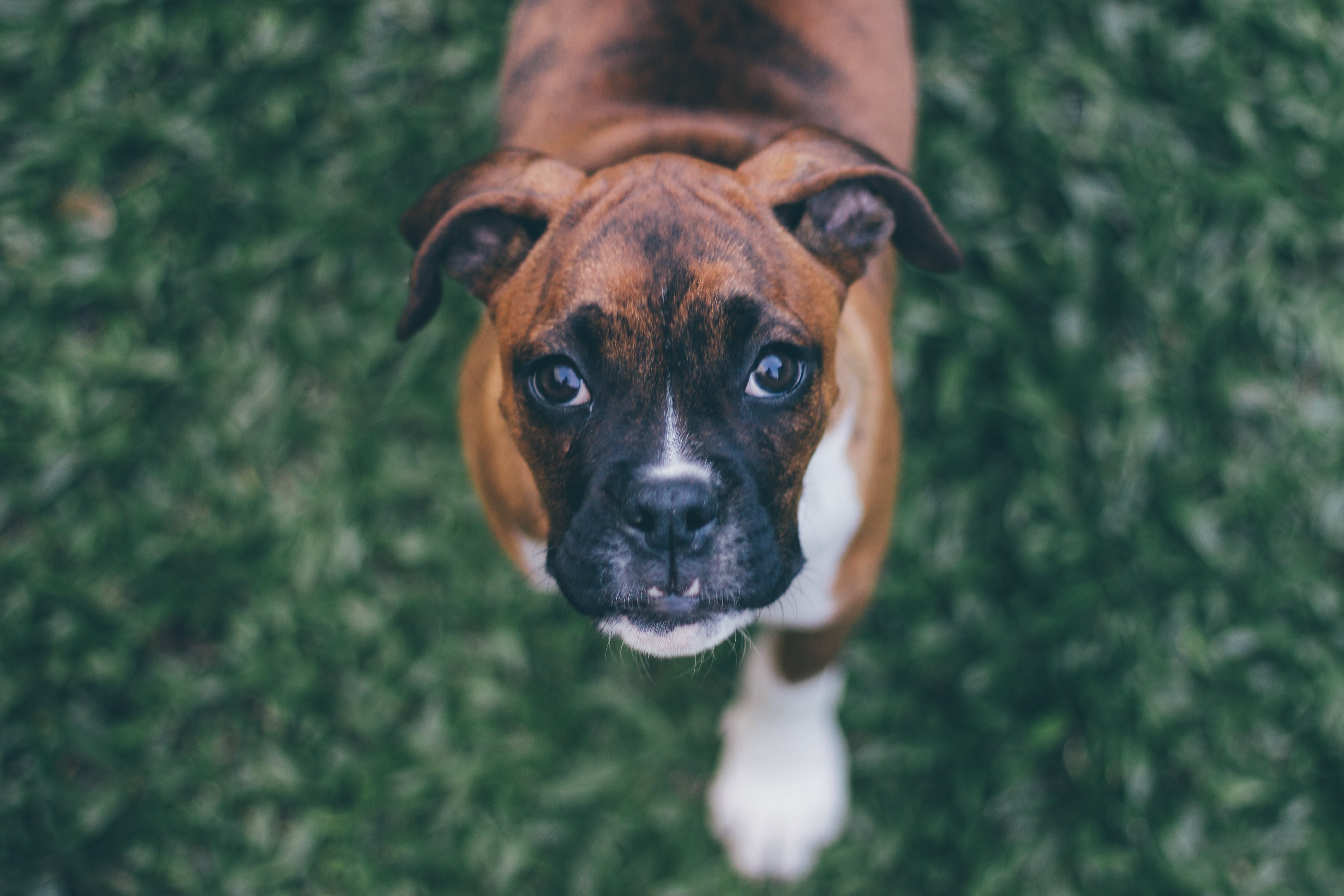 Shallow Focus Photography of Brindle Boxer Puppy