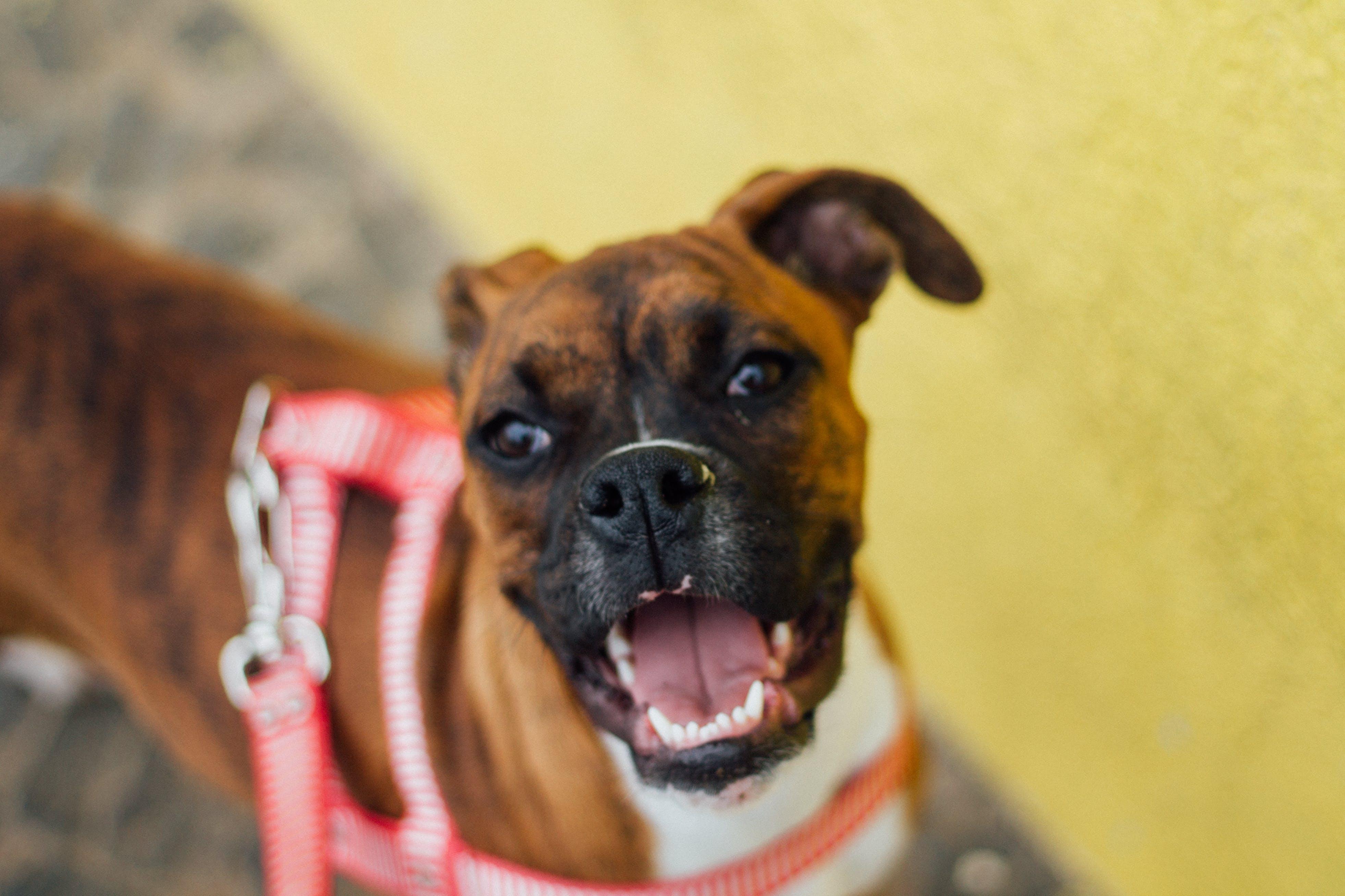 Free stock photo of boxer, dog