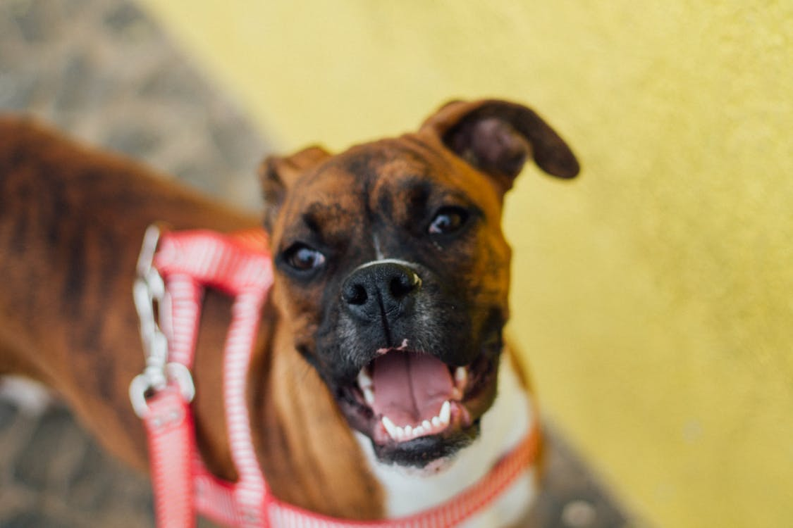 boxer, dog