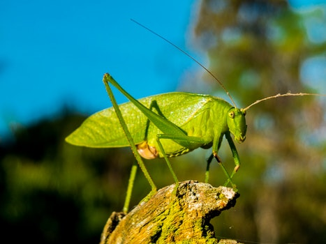 Green Grasshopper during Day Time